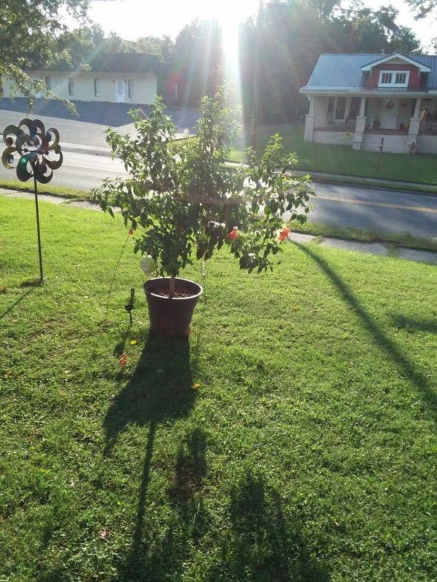How Do You Prune A Hibiscus Tree Hometalk