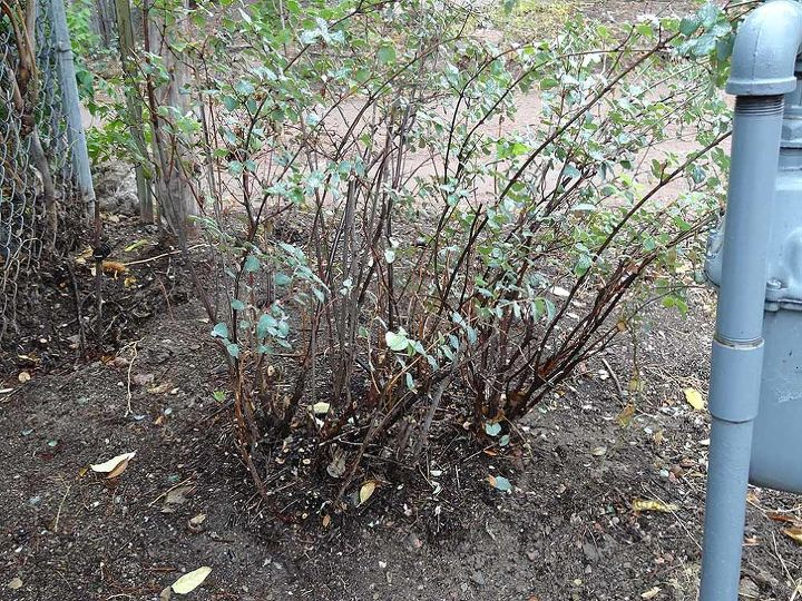 q what type of bush is this