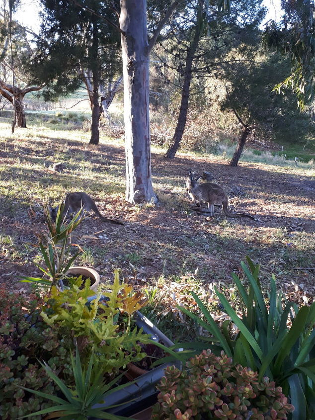q how do i stop kangaroos from eating the roots of my fruit trees