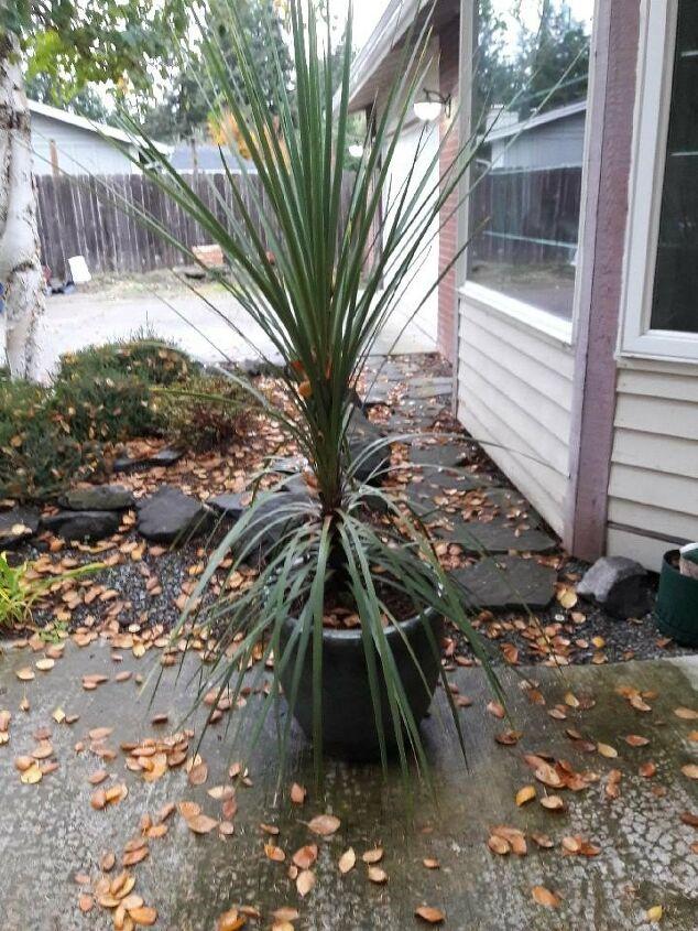 q how do i take care of a green grassy palm plant