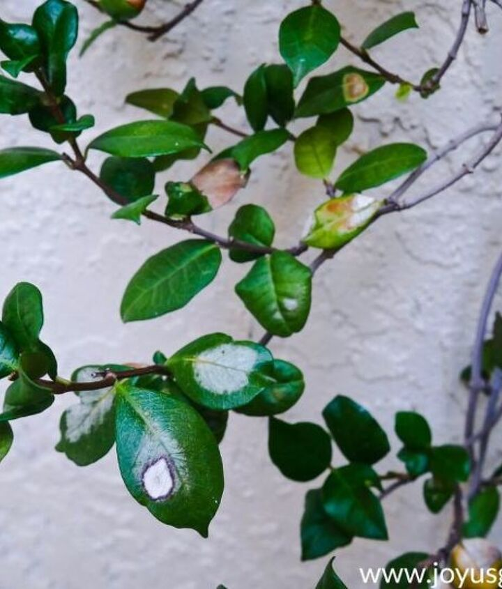 how to prune a star jasmine that s heat stressed