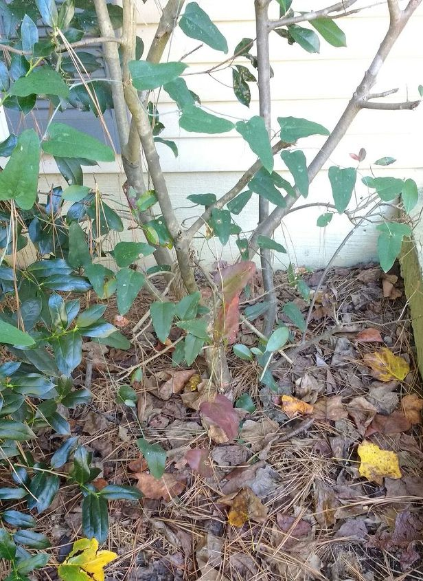 q what kind of perennial plant not a shrub can i put here