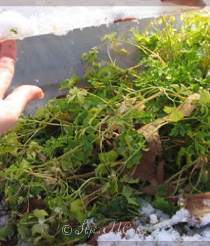 Year-round parsley.