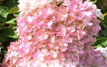 how to prune a hydrangea tree