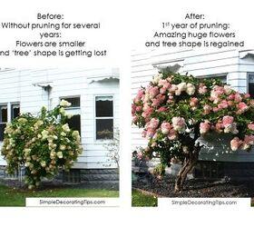 How To Prune A Hydrangea Tree Diy Hometalk