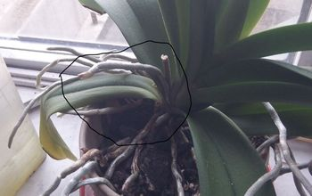 q is this a spike in my phalaenopsis