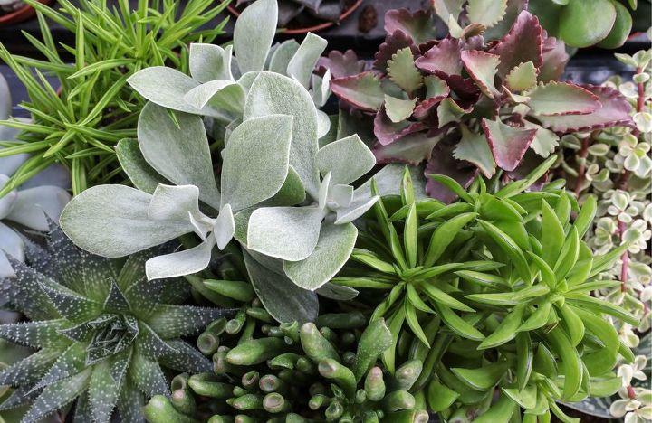 q how to propogate succulents