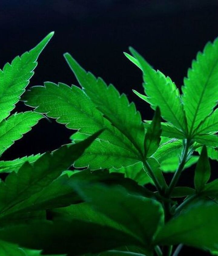 maintaining great health while consuming cannabis