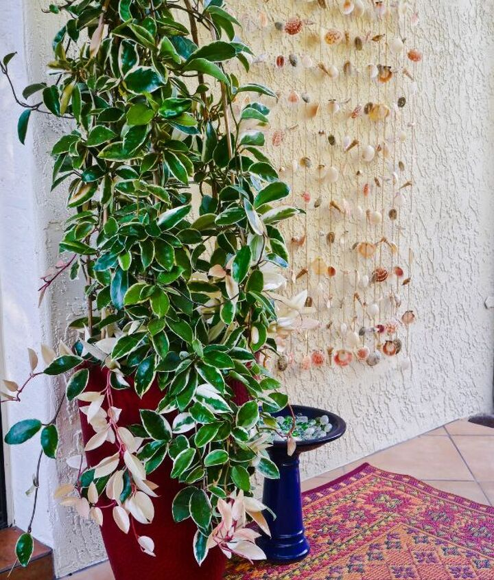 how to care for a hoya plant outdoors