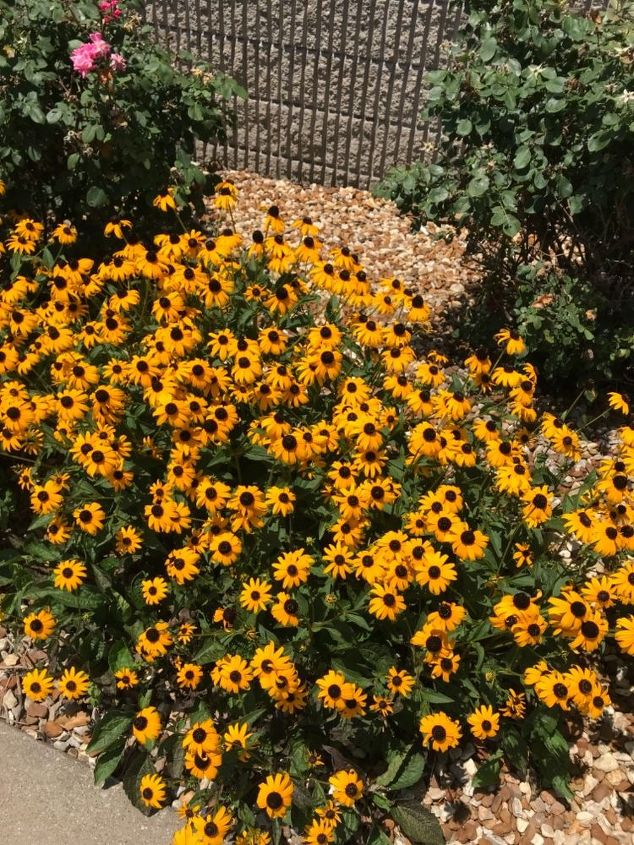 q when to divide black eyed susans