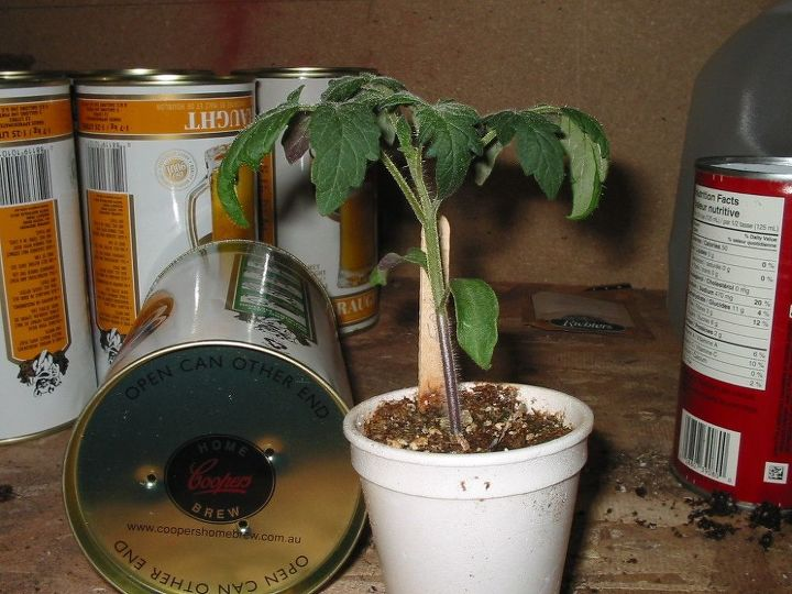 here s why you really should transplant those tomato seedlings