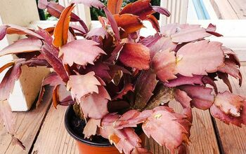 What Causes Christmas Cactus Leaves To Turn Orange?