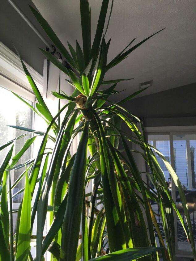 q yucca plant