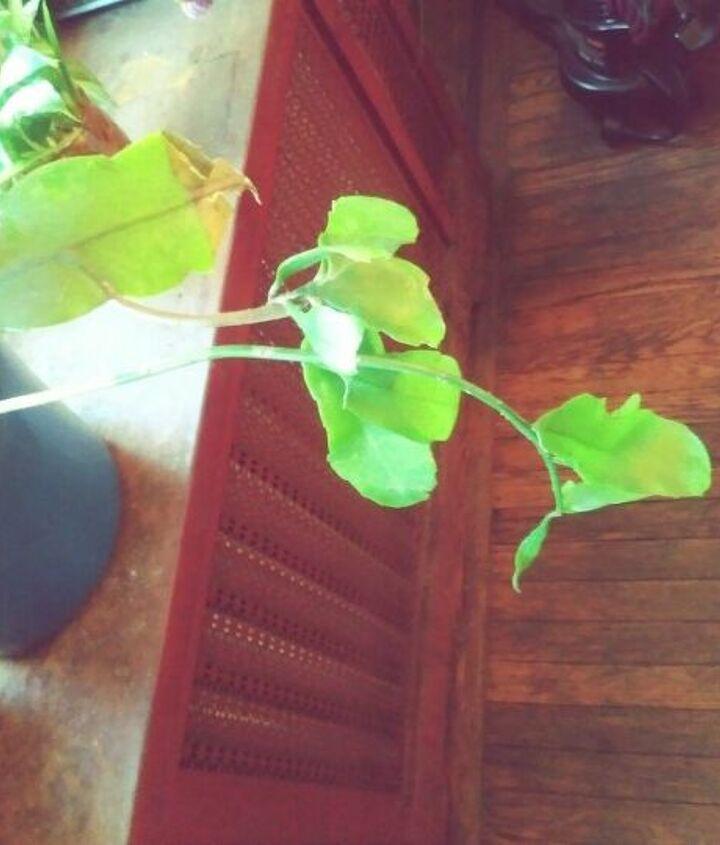 q identify this plant