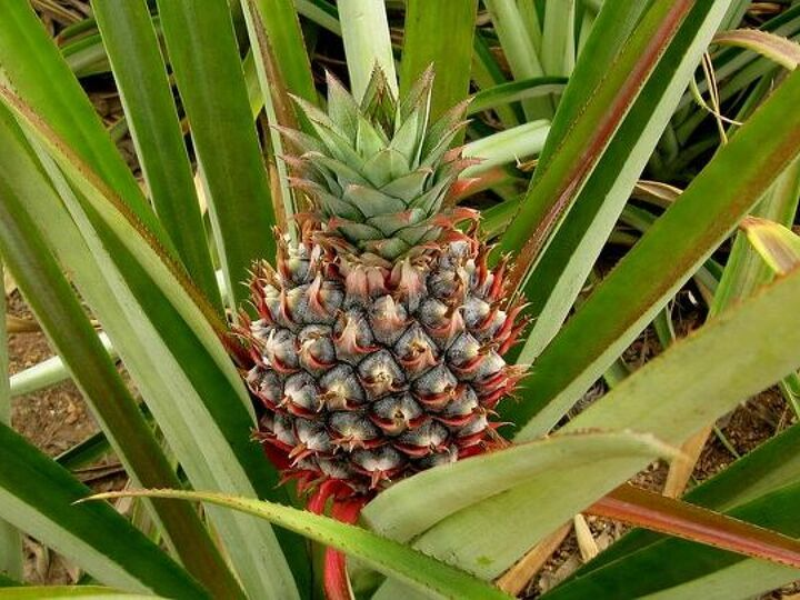 How to Grow a Pineapple at Home