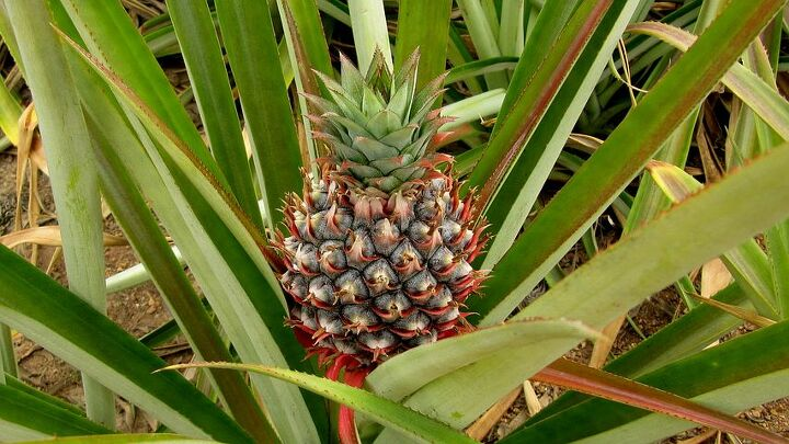 How to Grow a Pineapple (pixabay)