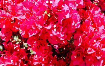 How To Care For Bougainvillea In Winter