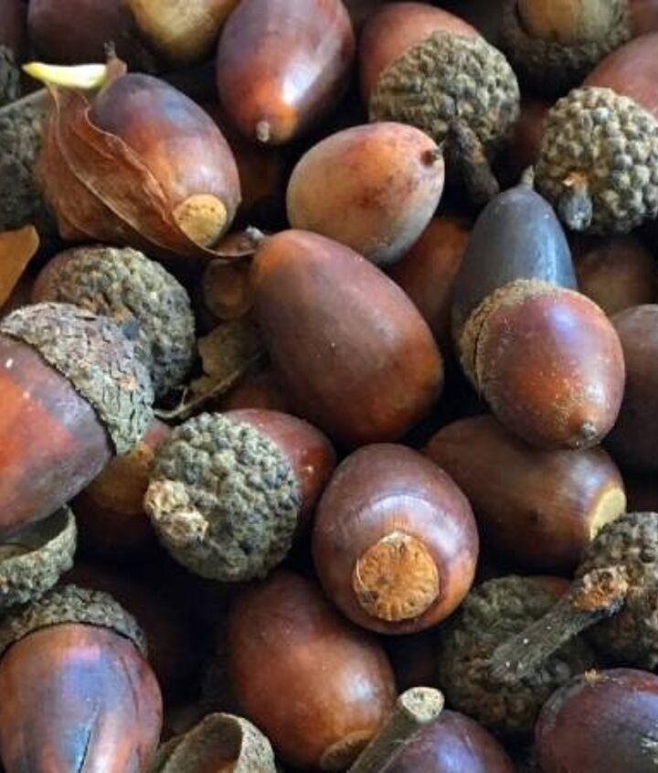 Acorns for Dyeing