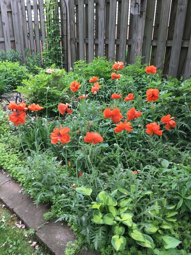 q poppies didn t grow this year