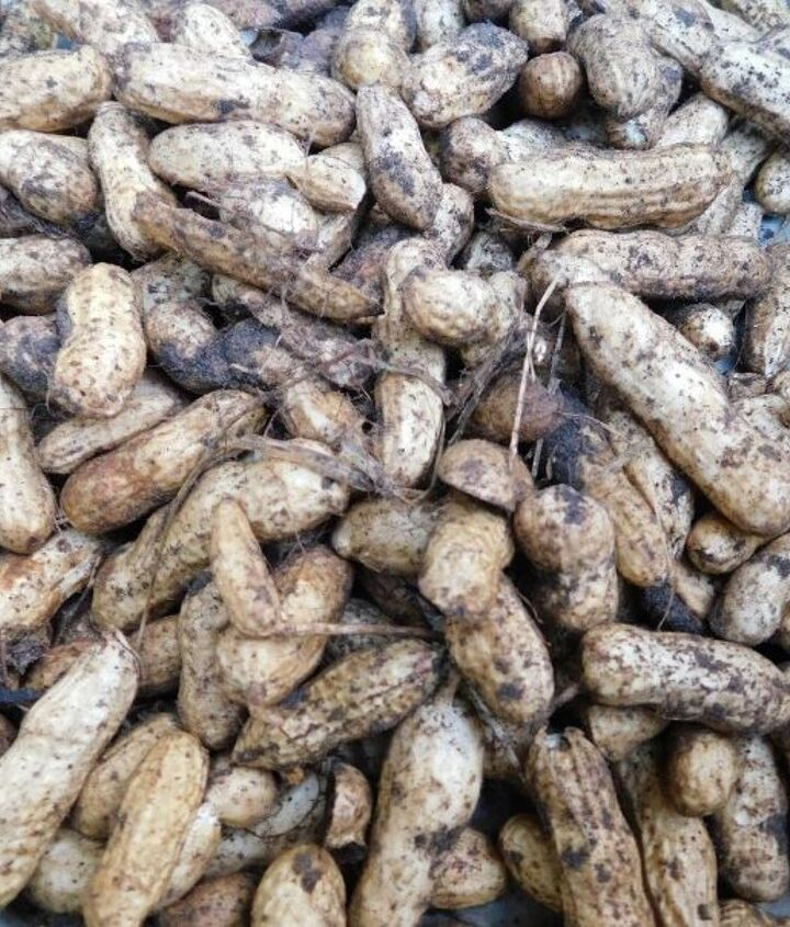 how to grow peanuts
