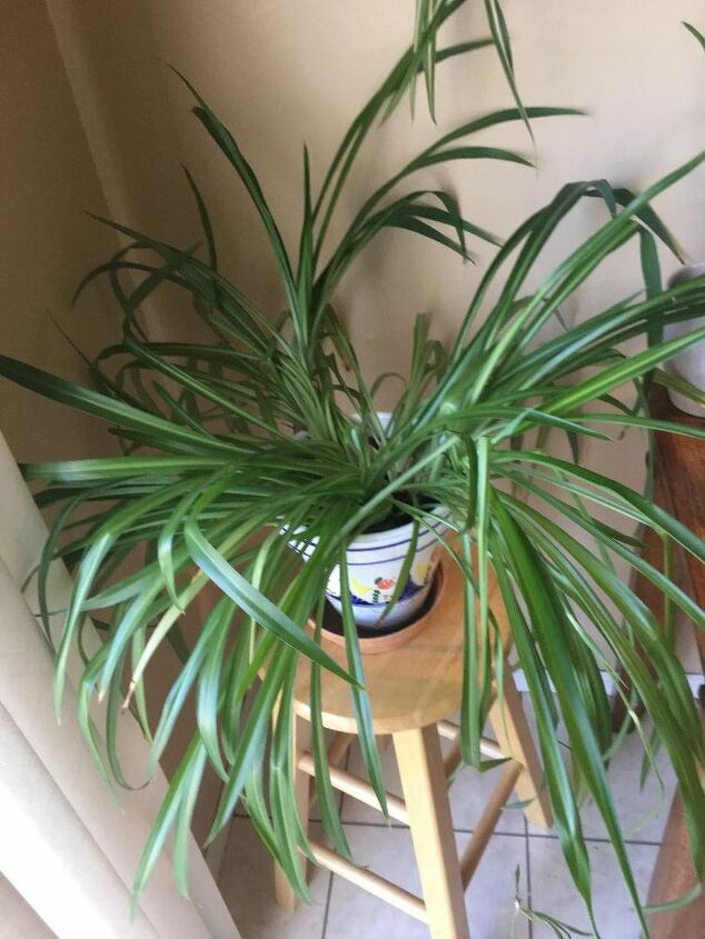 q spide plant pruning