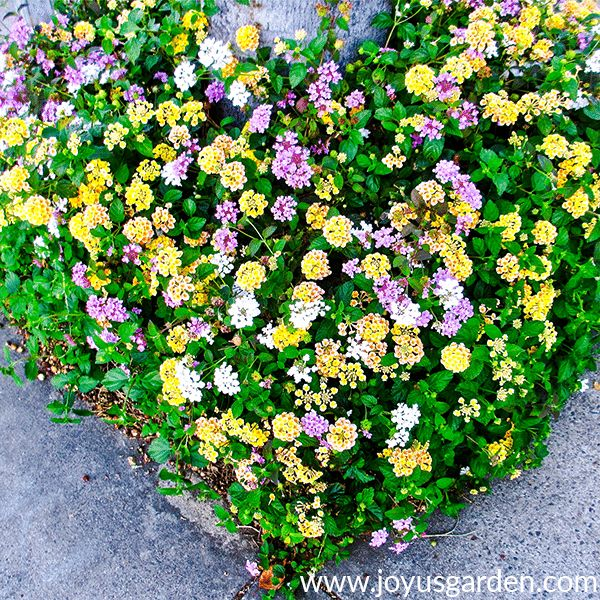 pruning 2 different types of lantana in spring