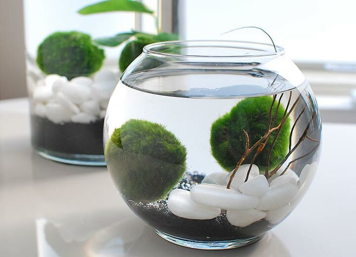 marimo moss ball aquariums the perfect indoor water garden