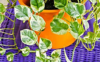 Houseplant Repotting: Pothos
