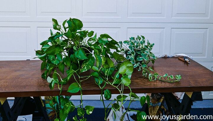 houseplant repotting pothos