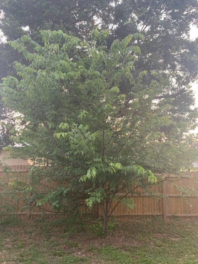 q tree disease