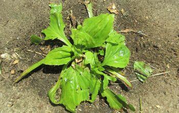 All-Natural Weed KIller