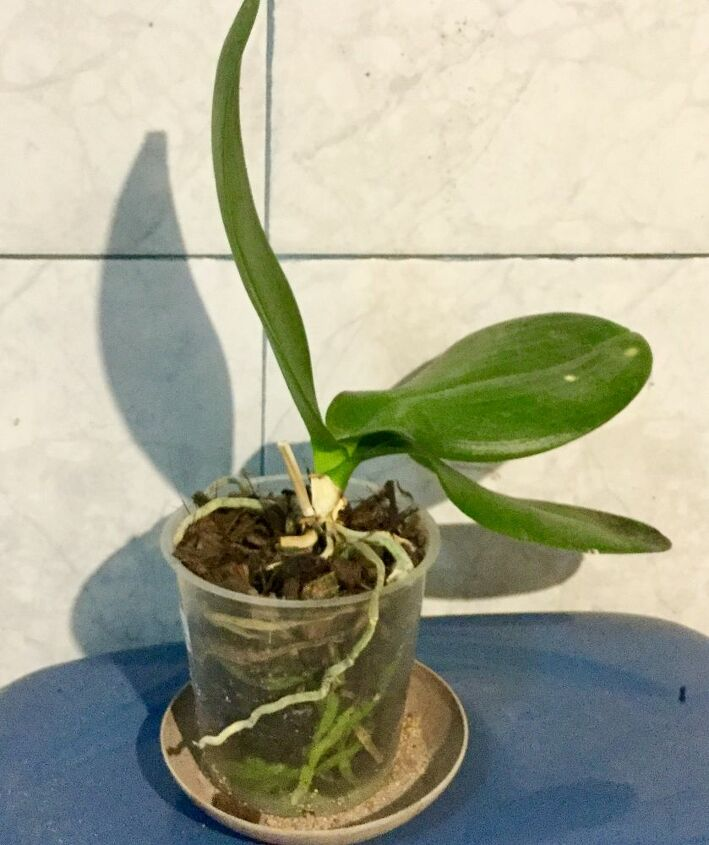 q orchid plant
