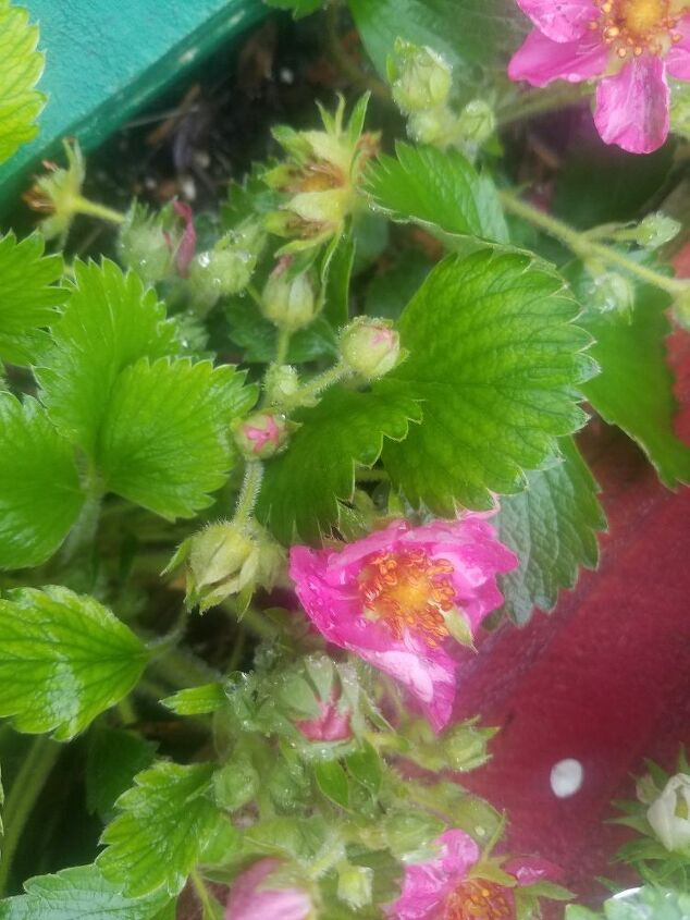 q is these plants strawberry plants