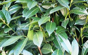 How to Plant a Hedge - Laurel