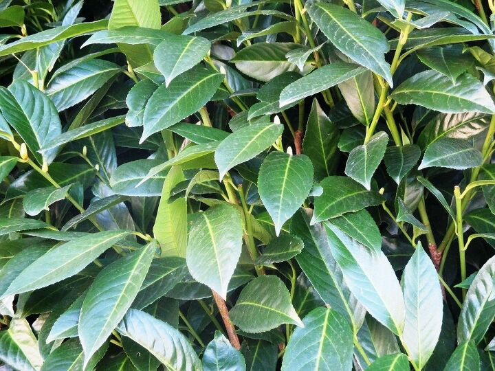 how to plant a hedge laurel