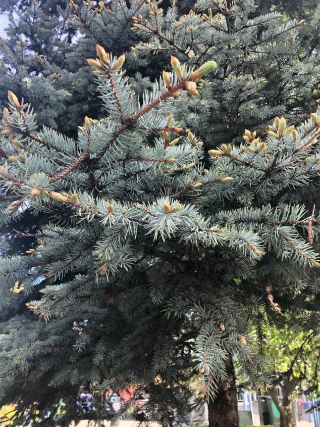 q what kind of trees are theseanchorage alaska
