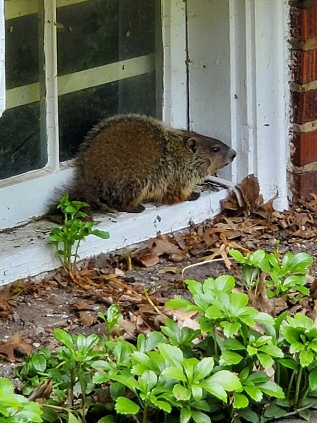 q how do i deter groundhogs from moving in