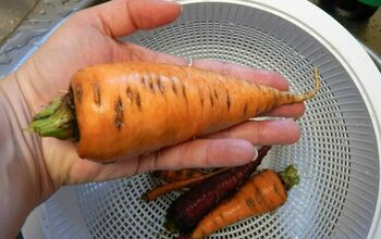 How to Grow Carrots Successfully