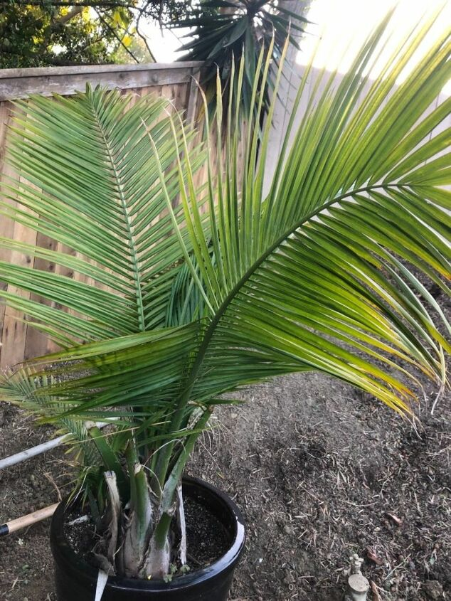 q what kind of palms