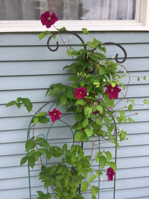 q how to keep clematis healthy