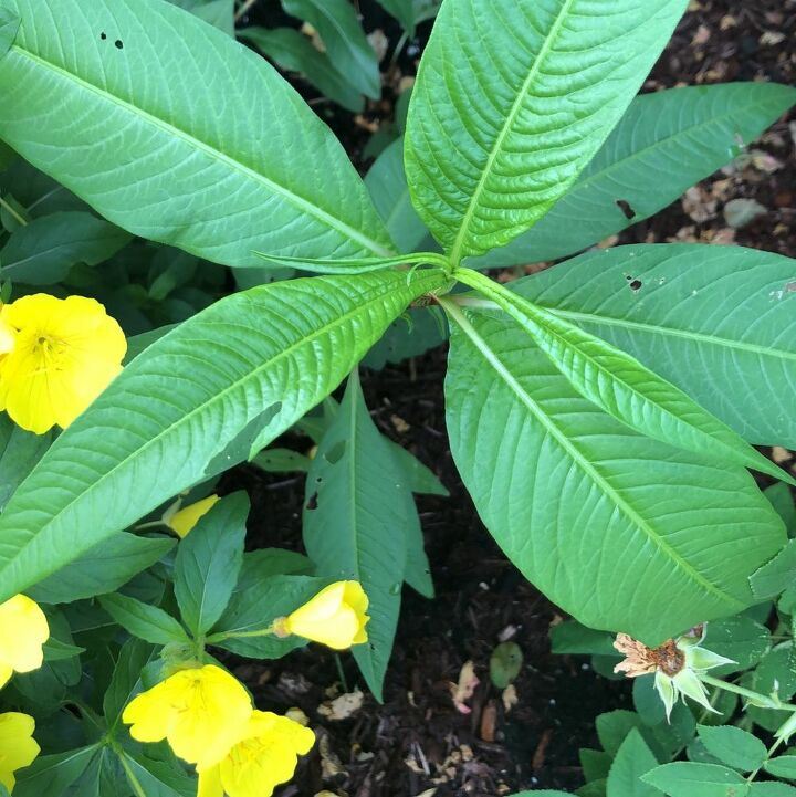 q what is this plant with healthy leaves it s a volunteer plant