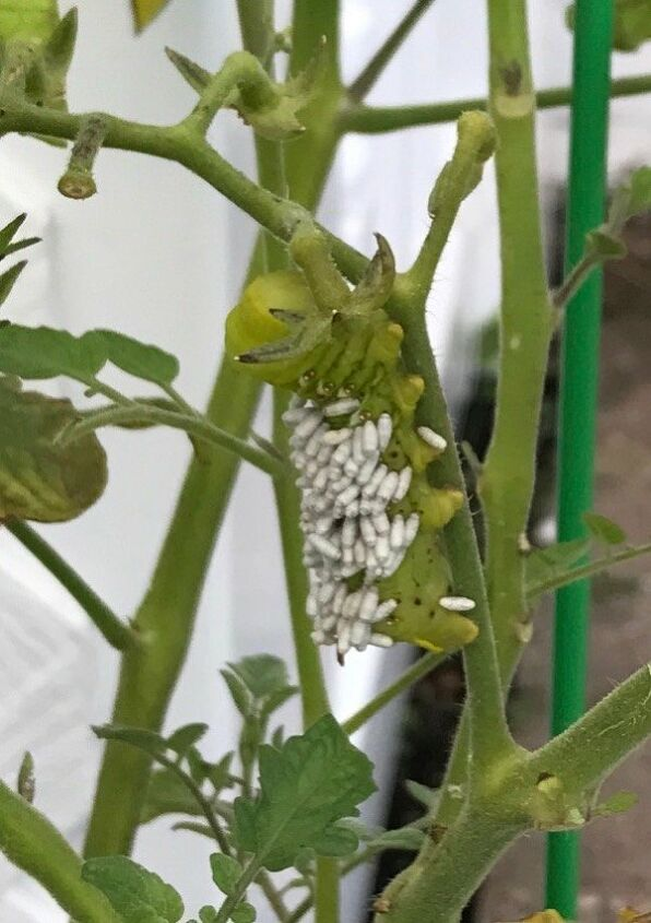 q does anyone know what this is on my tomato plant