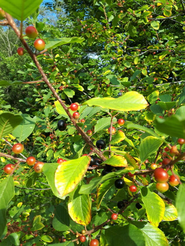 q berry tree