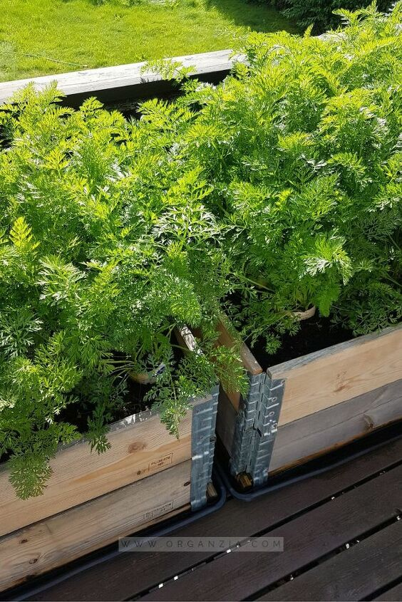 how to grow carrots in milk cartons