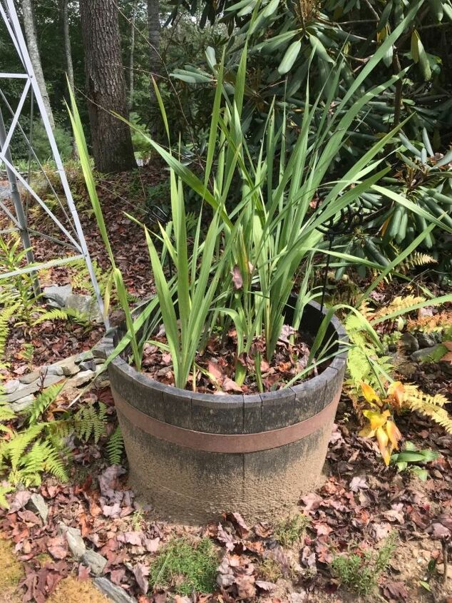 q help with my gladiolus