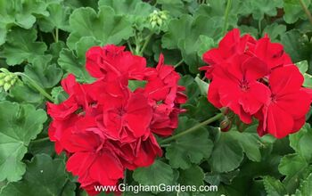 How to Keep Your Geraniums Over Winter (Its Easy & Frugal)