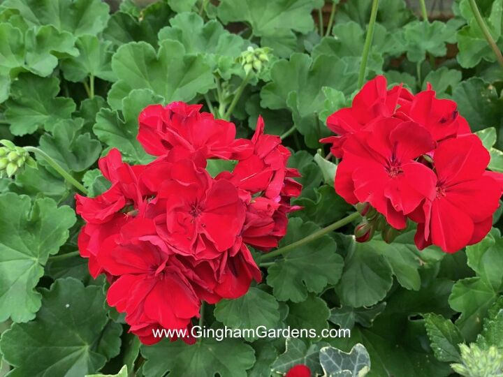 how to keep your geraniums over winter its easy frugal