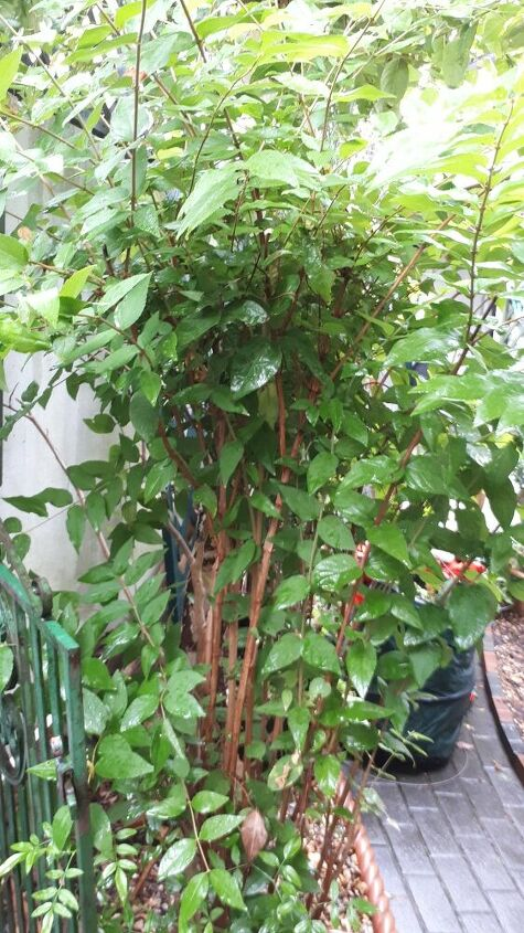q to identify japanese knotweed