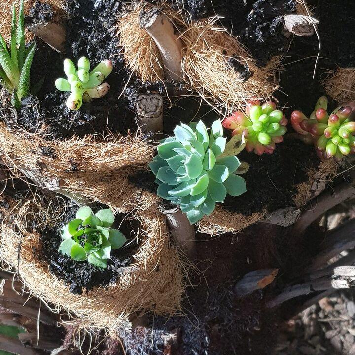 Succulent Tree