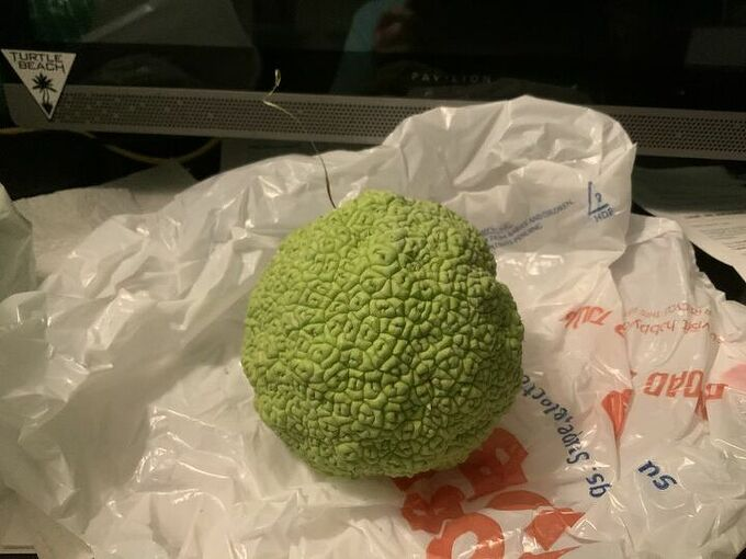 q what can be made out of hedge apples